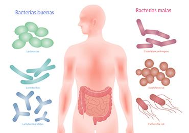 Funciones de la flora intestinal