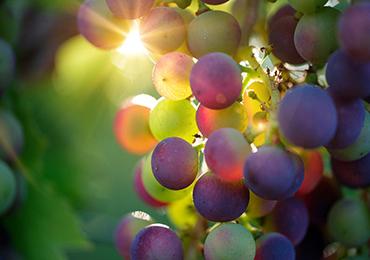¿Por qué se dice tener mala uva? Expresiones populares relacionadas con la comida